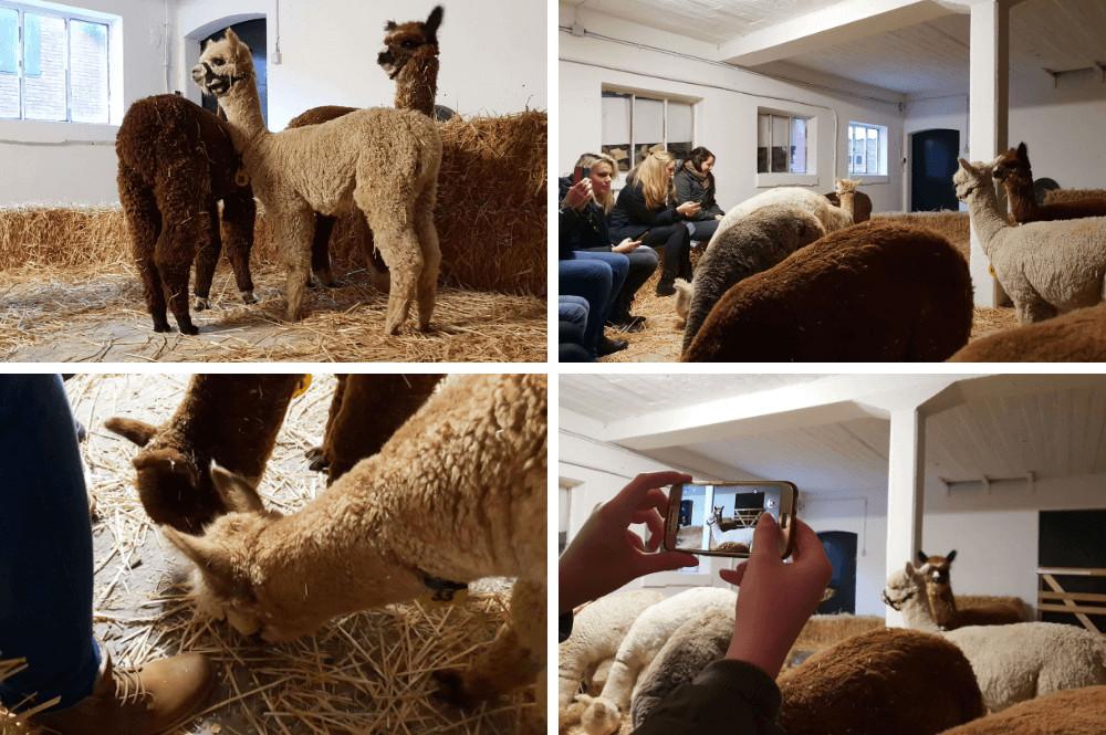 Activiteiten met alpaca's in Sassenheim