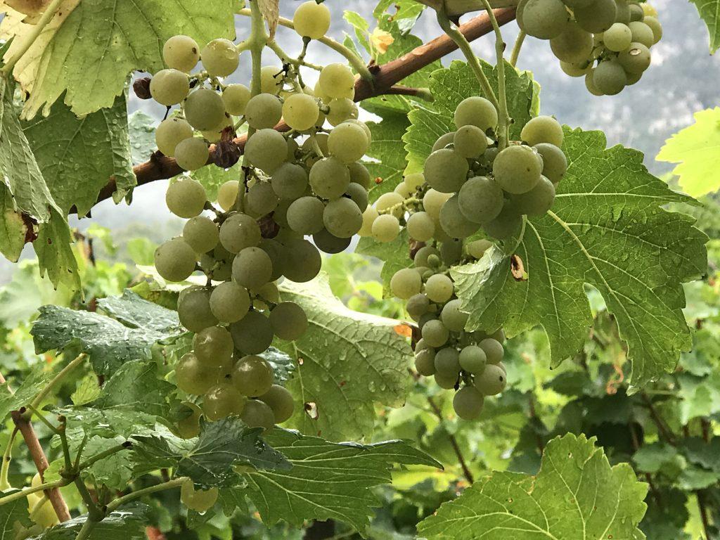 Tröpfltalhof wijnbouw