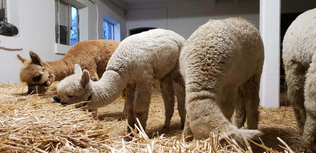 Belangrijkste alpaca wol eigenschappen