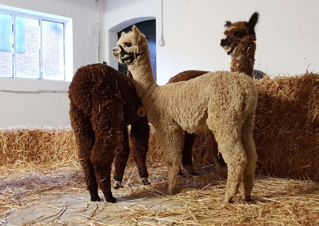 Wat is alpaca wol?